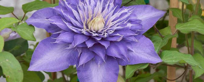 Clematis in bloom - Burston Garden Centre
