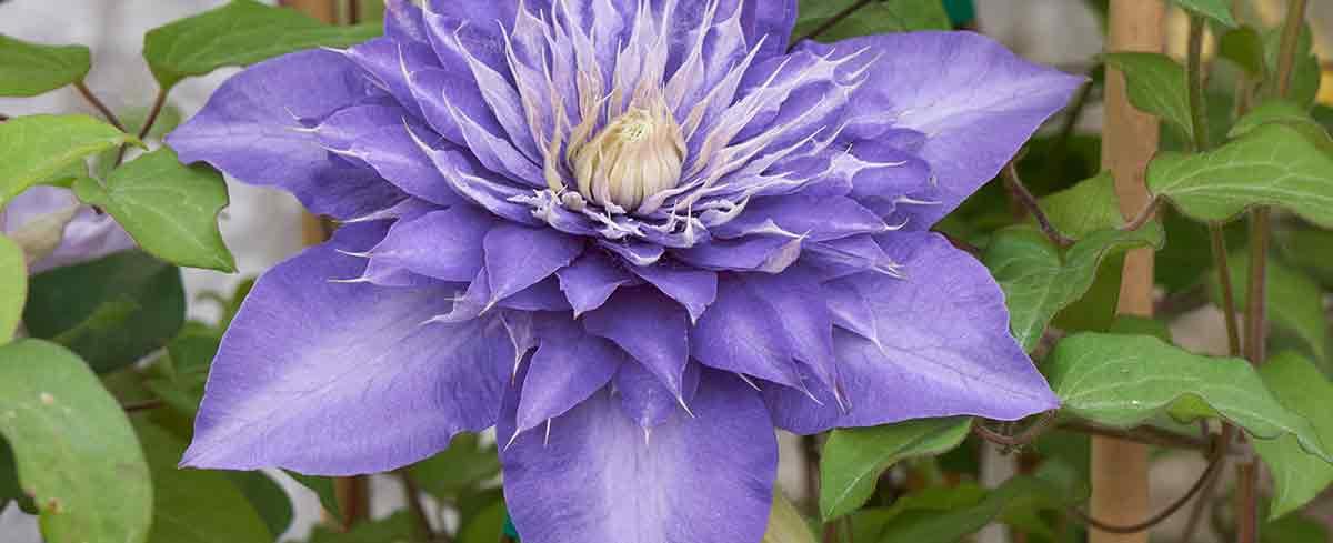 Clematis in bloom - Burston Garden Centre