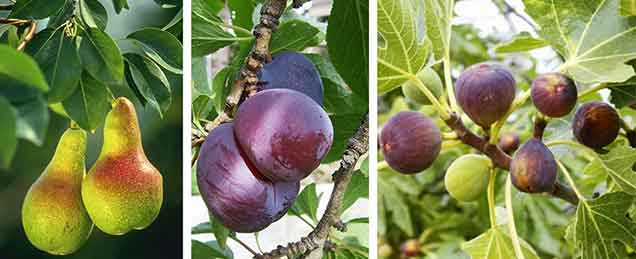 Fruit Trees - Burston Garden Centre