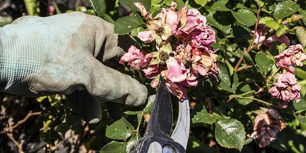 August jobs for the garden - Deadhead