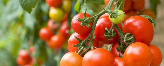August jobs for the garden - Tomatoes