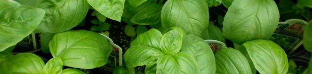 Grow Your Own Basil - Burston Garden Centre