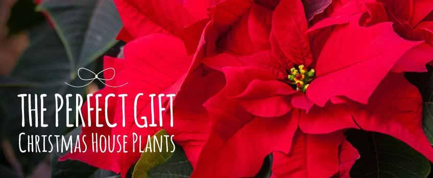 Christmas House Plants - Burston