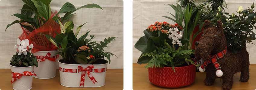 Christmas House Plants