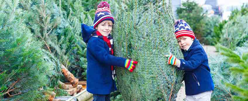 Christmas Trees St. Albans - Burston Garden Centre