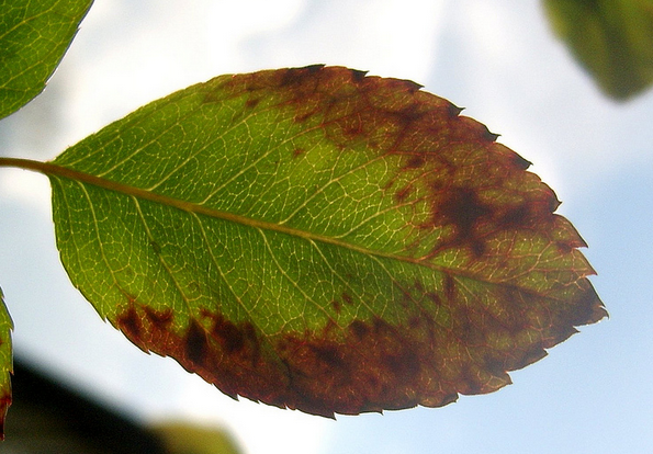 Clematis dry brown leaves