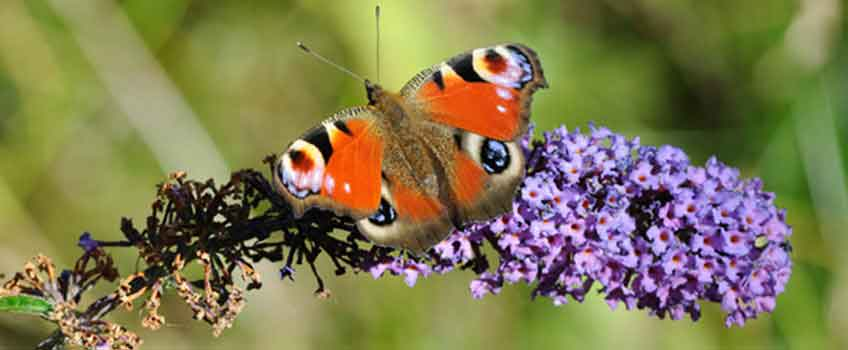 Encouraging Wildlife - New Butterfly