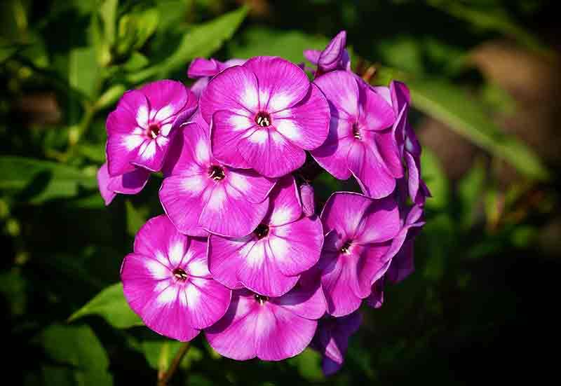 Flower of the week - Phlox