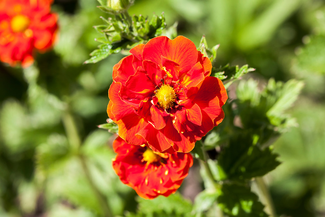 Flower of the week - Potentilla