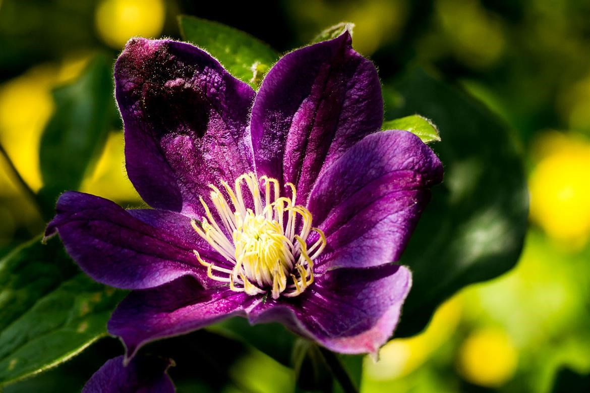 How to plant clematis - Burston Garden Centre