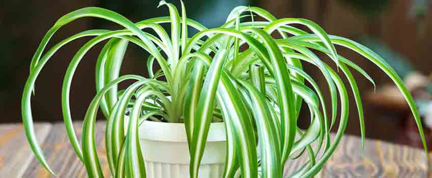 Improving Air Quality with Spider Plants