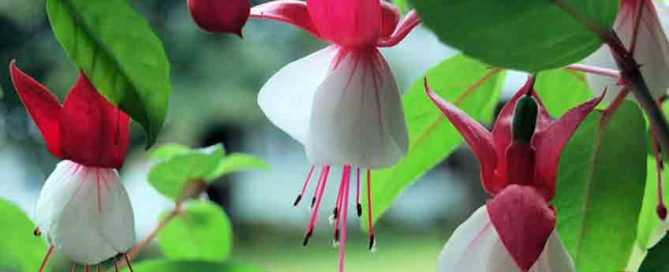 July jobs for the garden - Fuchsia