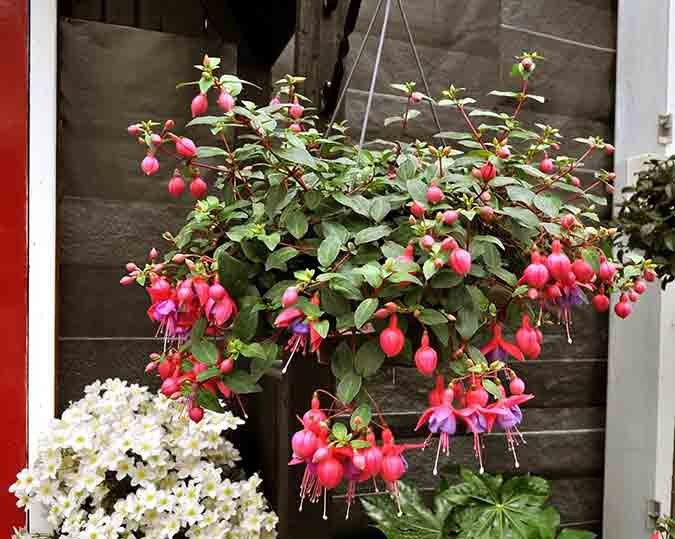 July jobs for the garden - hanging baskets