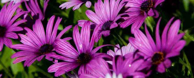 June jobs for the garden - African Daisy Flower