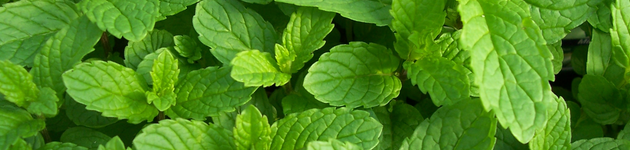 Grow Your Own Mint - Burston Garden Centre