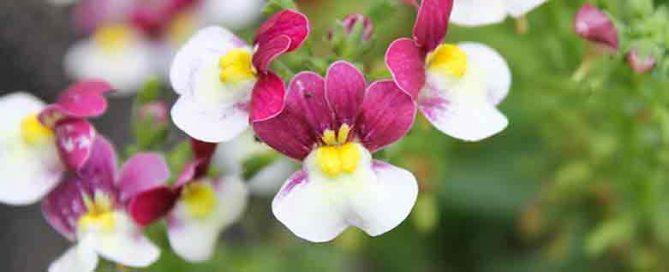 Nemisia - Flower of the week at Burston Garden Centre!