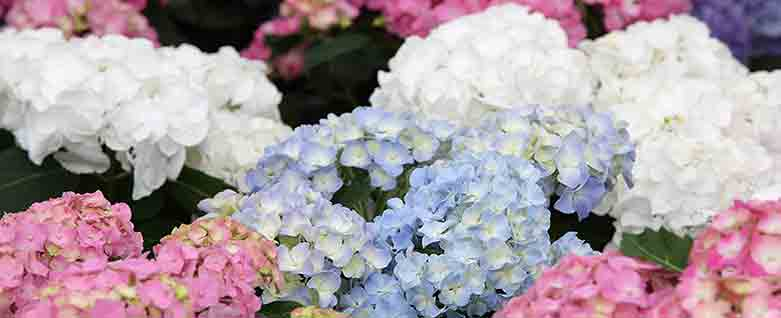 Red White and Blue Hydrangea - flowering