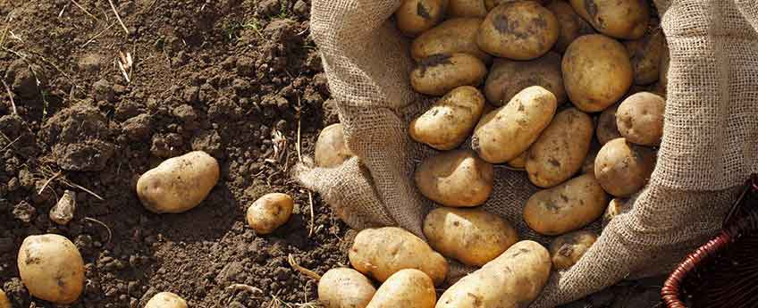 Seed potatoes - Burston Garden Centre blog