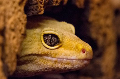 Burston Aquatics - Hertfordshire Fisheries - Lizard Gecko