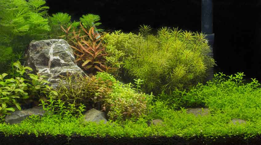 Burston Aquatics - Hertfordshire Fisheries - Aquarium Plants