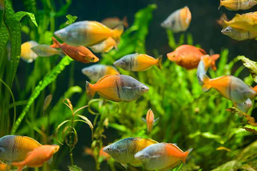 Burston Aquatics - Hertfordshire Fisheries - Aquarium - Tropical Fish