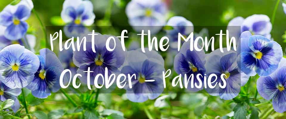 October Plant of the Month - Pansy