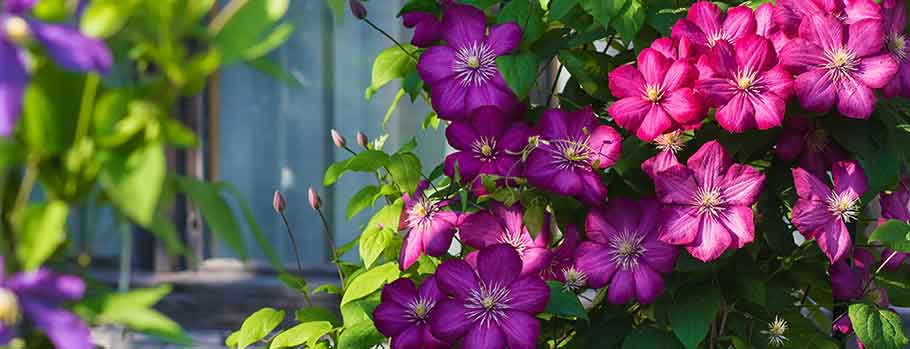 Plants at Burston Garden Centre - Clematis