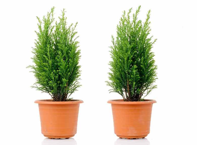 Plants at Burston Garden Centre - Evergreen