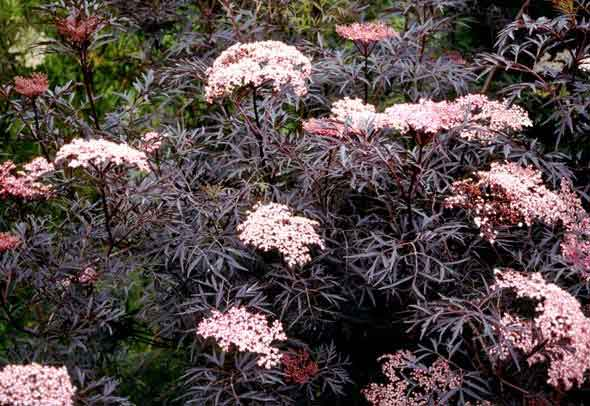 Plants at Burston Garden Centre - Sambucus Nigra Blacklace