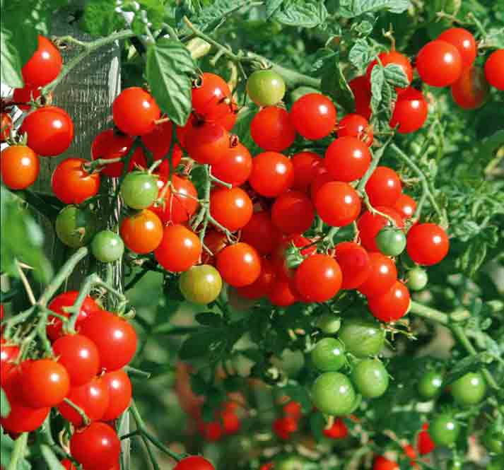 Tomato Week Special Offers - Tomato