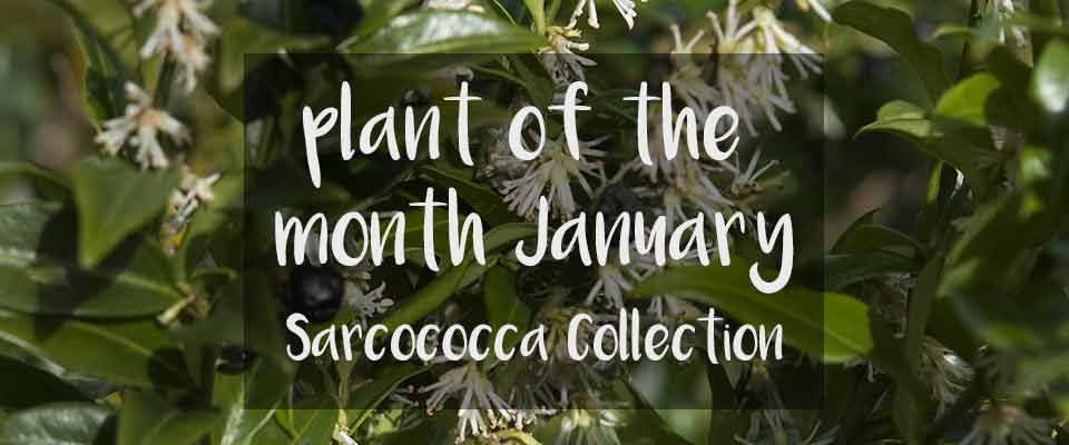Plant of The Month for January at Burston Garden Centre - Sarcococca Collection