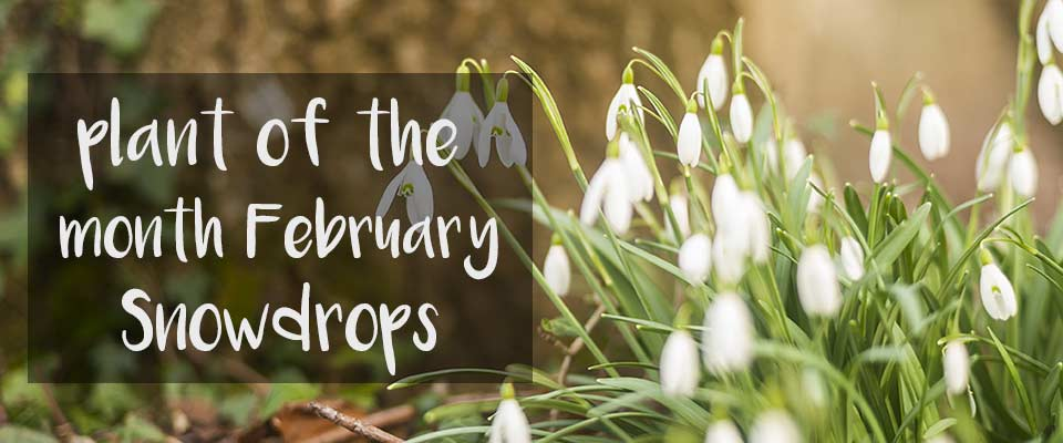 Plant of The Month for February at Burston Garden Centre - Snowdrops