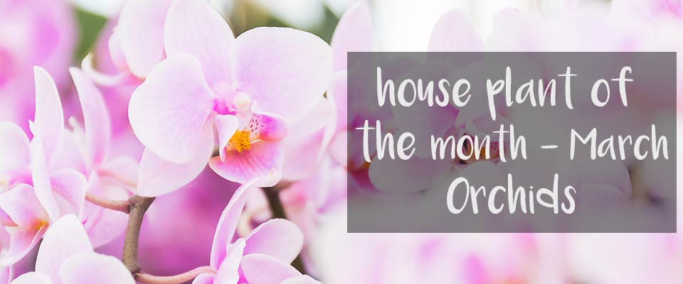 House Plant of The Month - March - Orchids