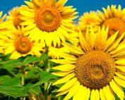 Sunflower Growing Competition at Burston Garden Centre