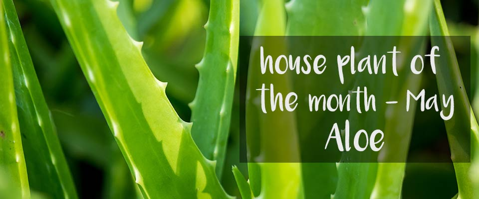 House Plant of the Month at Burston Garden Centre