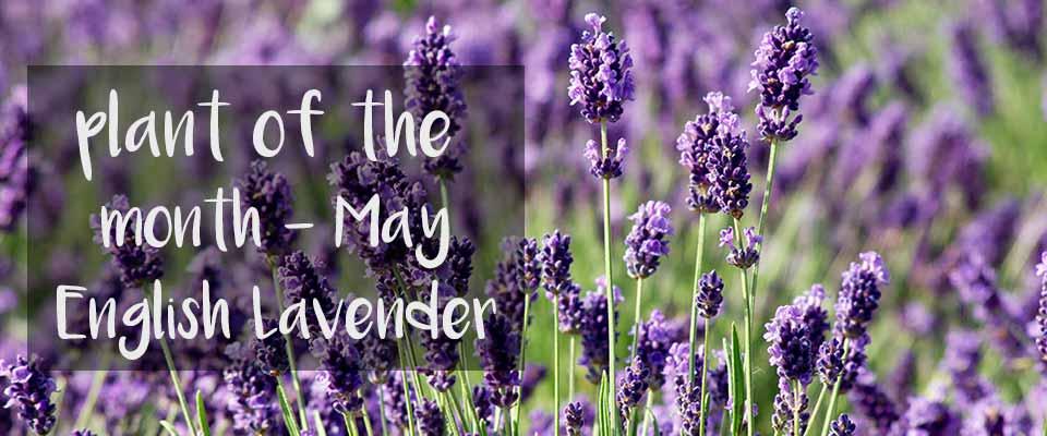 POTM May - English Lavender Plants