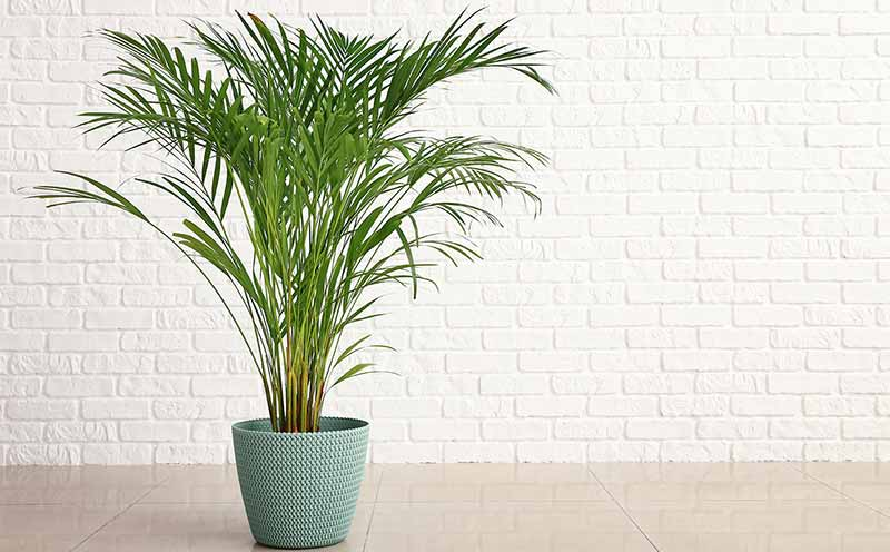 Areca Palm House Plant