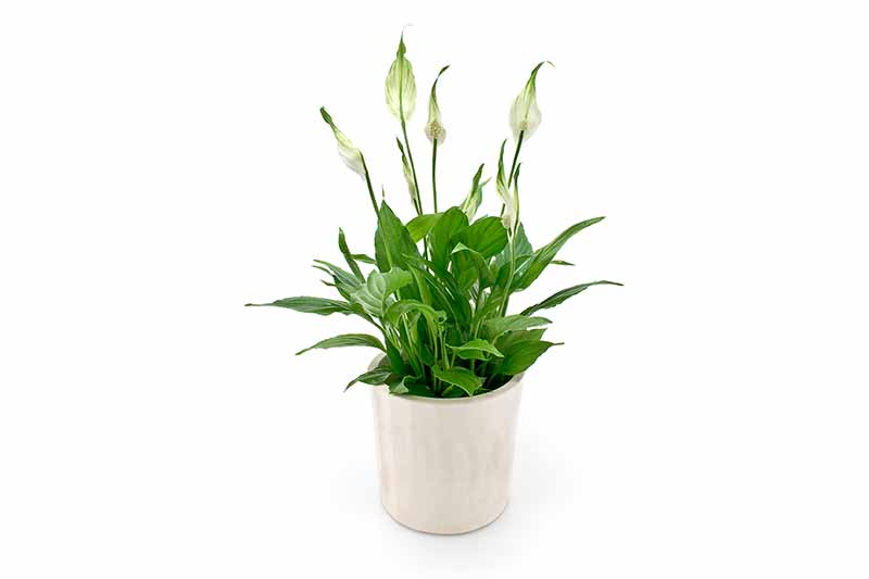 House Plants Spathiphyllum Peace Lily