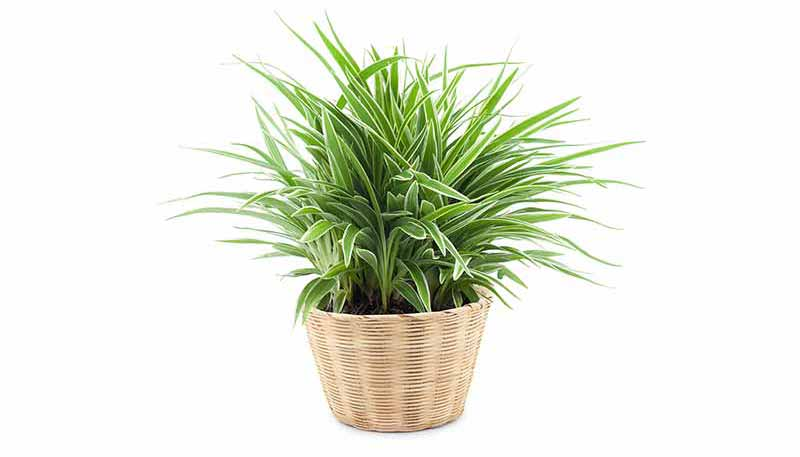 House Plant - Spider Plant