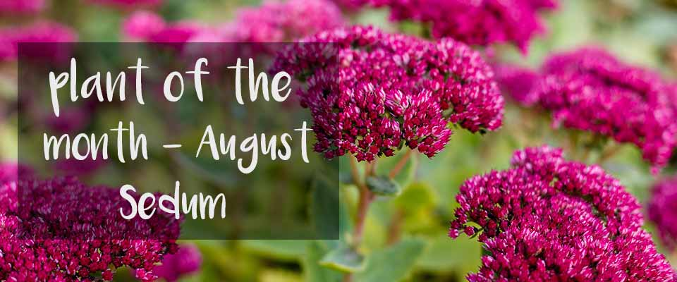 Plant of the month at Burston Garden centre