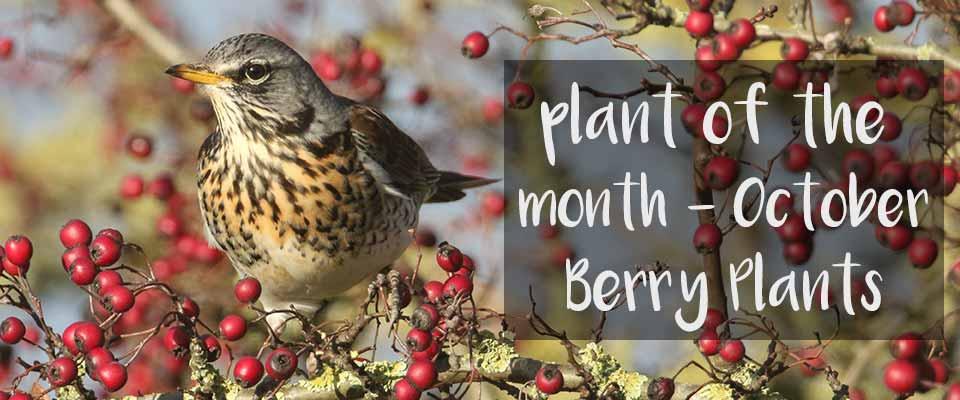 Plant of the Month October - Burston Garden Centre