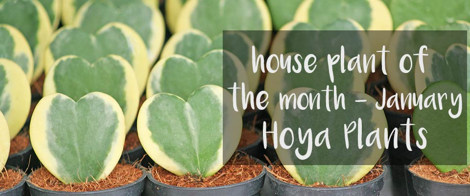 January – House plant of the month - Hoya Plants