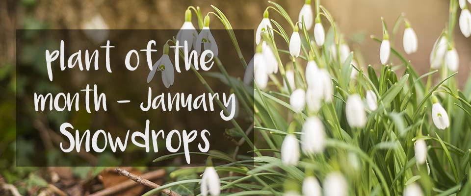 POTM at Burston - January - Snowdrops