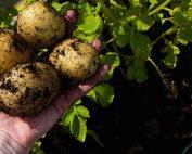 Grow your own potatoes - a guide by Burston Garden Centre