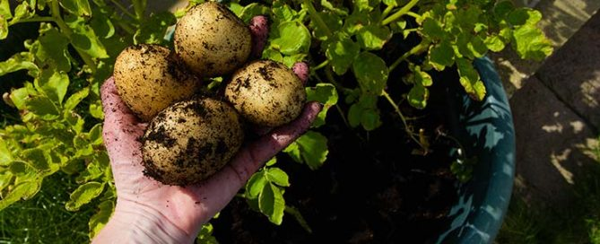 Grow your own potatoes - a guide by Burston Garden Centre