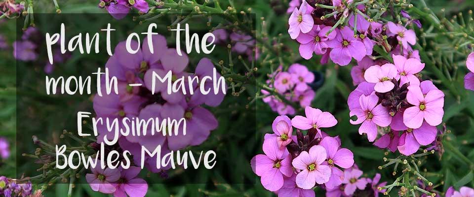 POTM at Burston - March - Erysimum Bowles Mauve